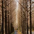 Photos: 冬枯れのメタセコイアの並木道