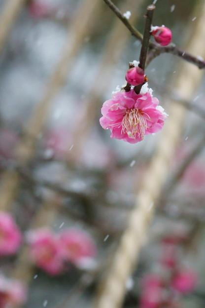 Photos: 八重の紅梅 雪