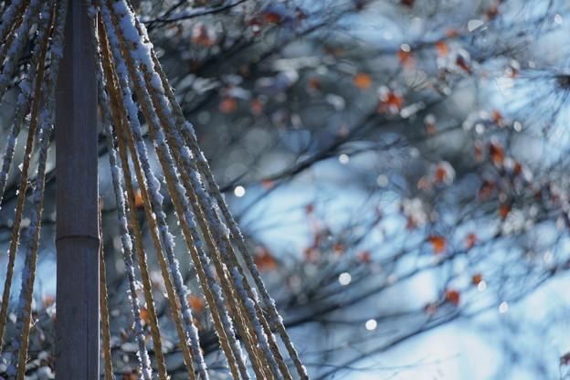 雪吊りと雪と紅葉 キラキラ