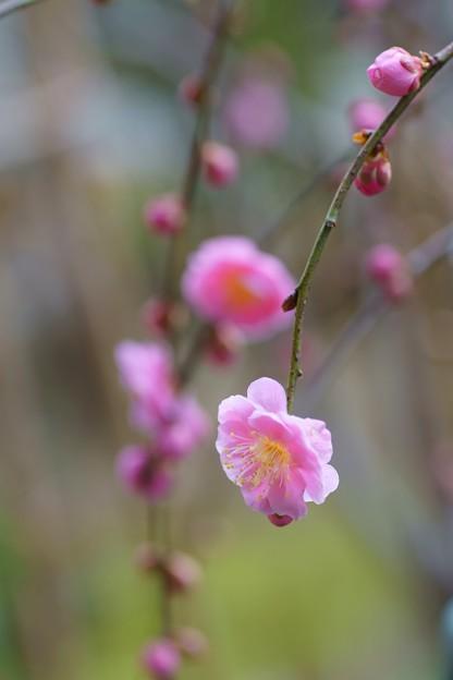 枝垂れ梅(1)