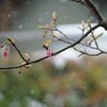 河津桜の蕾 冷たい雪