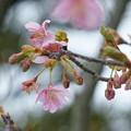 Photos: 河津桜が開花(1)