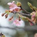 Photos: 河津桜が開花(2)