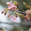 河津桜が開花(2)
