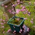 小さな枝垂れ梅(1)