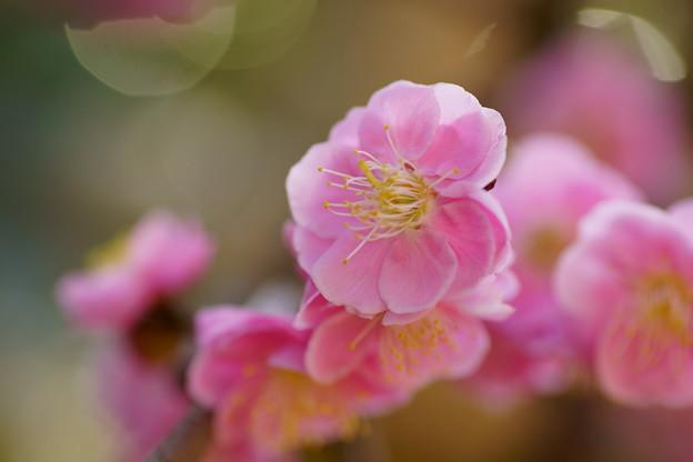 Photos: 枝垂れ梅(1)