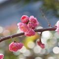 Photos: 枝垂れ梅(2)