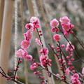 ピンクの梅と雪吊り