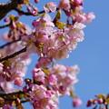 河津桜(1)