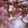 河津桜(2)