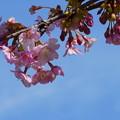 河津桜(3)