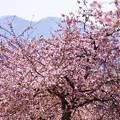 河津桜と山並み(1)