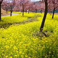 Photos: 桜と菜の花ロード
