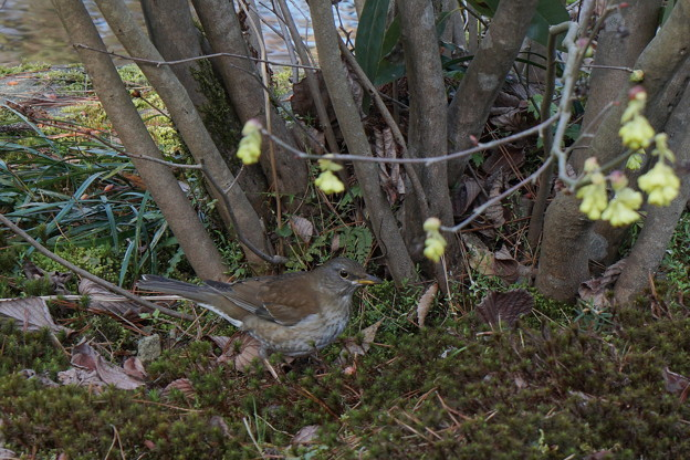 Photos: シロハラ トサミズキの木の下で