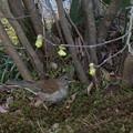 シロハラ トサミズキの木の下で