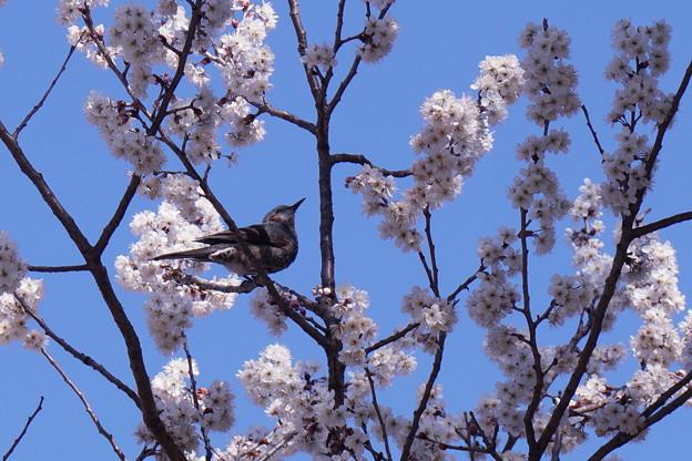 満開のカラミザクラ  ヒヨドリさんもお花見