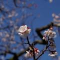 Photos: ピンクの梅 豊後