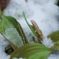 カタクリの蕾と朝の雪