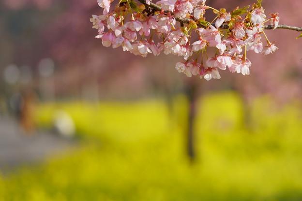 菜の花ロードと河津桜(1)