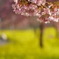 Photos: 菜の花ロードと河津桜(1)