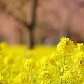 菜の花ロードと河津桜(2)