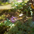 庭の妖精 カタクリ(1)