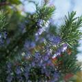 ローズマリーが開花