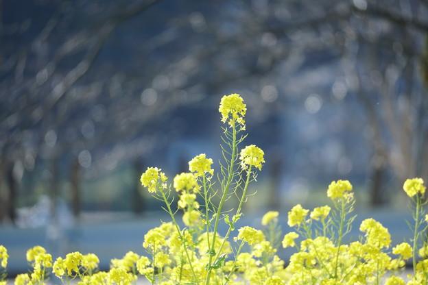 Photos: 菜の花(1)