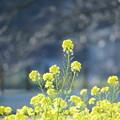 菜の花(1)