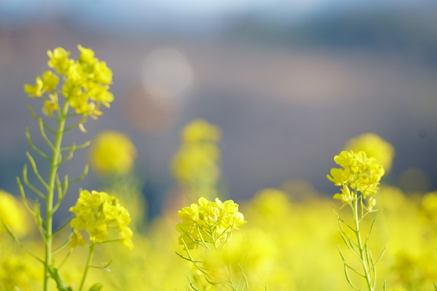 Photos: 菜の花(2)