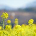 Photos: 菜の花( 3)