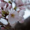 Photos: ソメイヨシノ(1)
