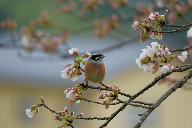 ホオジロくん(1)  綺麗な桜だね~