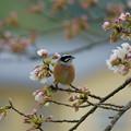 Photos: ホオジロくん(1)  綺麗な桜だね~