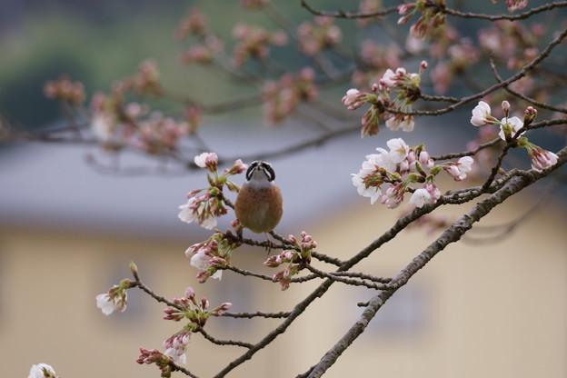 ホオジロくん(2) お花見