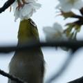 Photos: 桜メジロ(1)