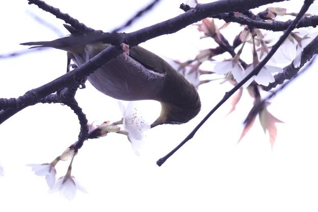 Photos: 桜メジロ (2)