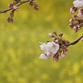 桜と菜の花(1)