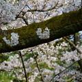 Photos: 兼六園 ソメイヨシノ 古木の幹から ワッペン?
