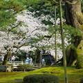 Photos: 兼六園 満開の桜 花見橋と根上松