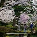 兼六園 満開の桜
