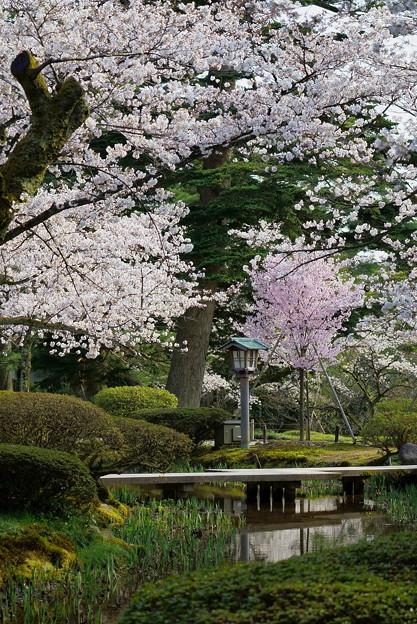 Photos: 兼六園 満開の桜