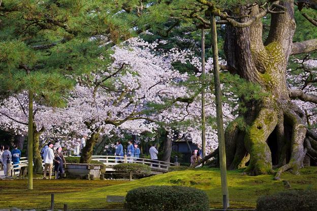 兼六園 満開の桜 花見橋と根上松