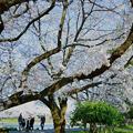 Photos: 満開の桜の下で