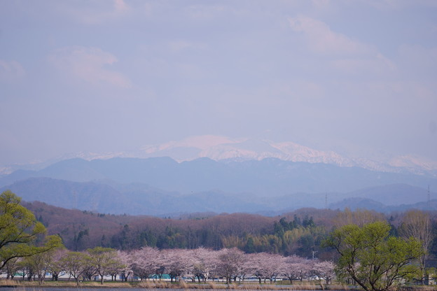 Photos: 白山と桜