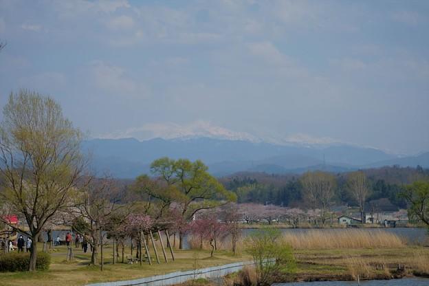 木場潟 白山と桜