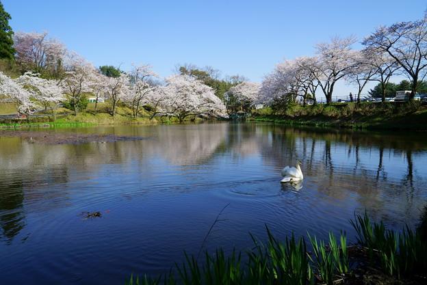 Photos: 満開の桜と白鳥(1)