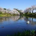 満開の桜と白鳥(1)