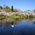 満開の桜と白鳥(2)