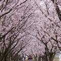 Photos: 満開の桜のトンネル